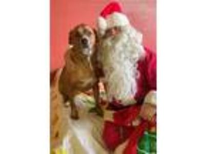 Adopt Sawyer a Great Dane, Boxer