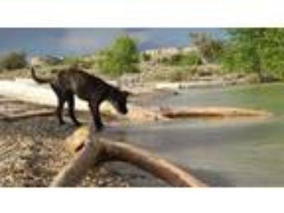 Adopt Zeus a Brindle American Pit Bull Terrier / Labrador Retriever / Mixed dog