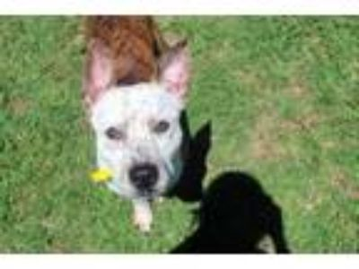 Adopt Rocko a White American Pit Bull Terrier / Mixed dog in Gainesville