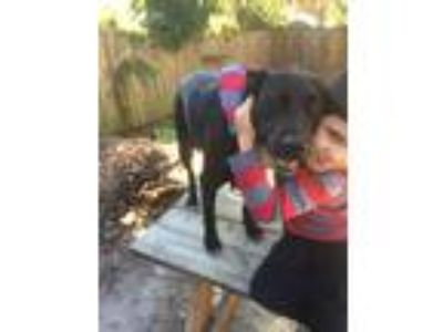 Adopt Bayley! a Black Labrador Retriever / Shepherd (Unknown Type) / Mixed dog