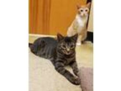 Adopt Mowgli a American Shorthair, Domestic Short Hair