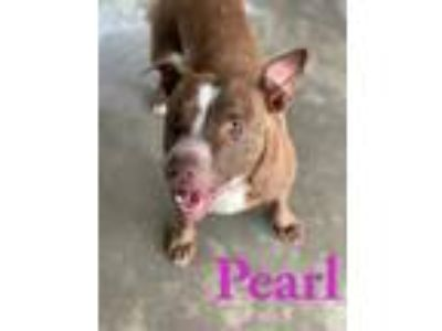Adopt Pearl a Pit Bull Terrier