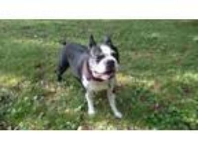 Adopt Chelsea Bean WV a Black - with White Boston Terrier / Mixed dog in