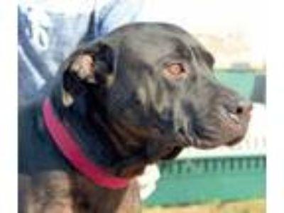 Adopt Samantha a Black American Pit Bull Terrier / Mixed dog in Enterprise