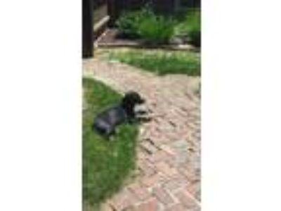 Adopt Coffee a Black - with White Labrador Retriever / Border Collie / Mixed dog