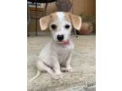 Adopt Jan a White - with Tan, Yellow or Fawn Terrier (Unknown Type