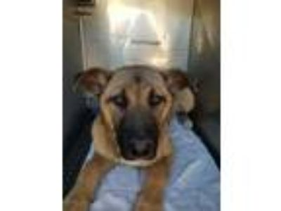 Adopt HARRY a Brown/Chocolate - with Black German Shepherd Dog / Mixed dog in