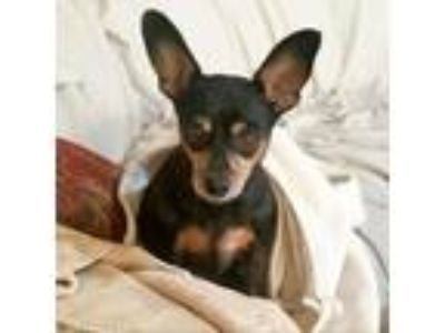 Adopt Blackie a Miniature Pinscher / Mixed dog in Austin, TX (25313212)