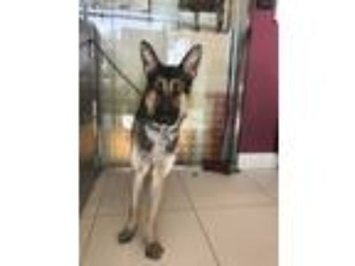 Adopt ZEUS a Black - with Tan, Yellow or Fawn Foxhound / German Shepherd Dog /