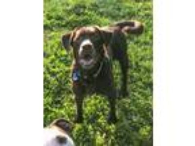 Adopt Reese a Chocolate Labrador Retriever