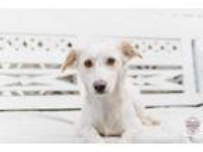 Adopt Cookie a White - with Tan, Yellow or Fawn Spaniel (Unknown Type) / Mixed