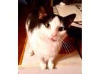 Adopt Bonnie Female a Black & White or Tuxedo Domestic Shorthair / Mixed (short