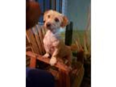 Adopt Rosie a Tan/Yellow/Fawn Terrier (Unknown Type, Medium) / Mixed dog in