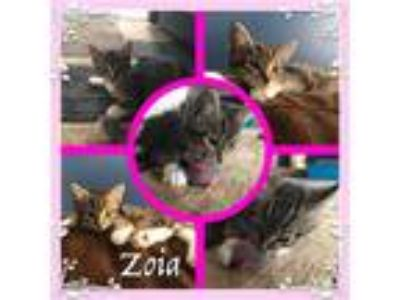 Adopt Zoia a Domestic Shorthair / Mixed (short coat) cat in Madison
