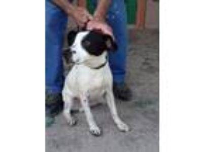 Adopt PETE (19D-0068) a White - with Black Labrador Retriever dog in Corinth