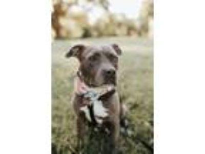 Adopt Jasmine a American Staffordshire Terrier, Staffordshire Bull Terrier
