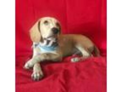 Adopt Jowy a Mixed Breed, Dachshund