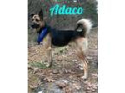 Adopt Adaco a German Shepherd Dog