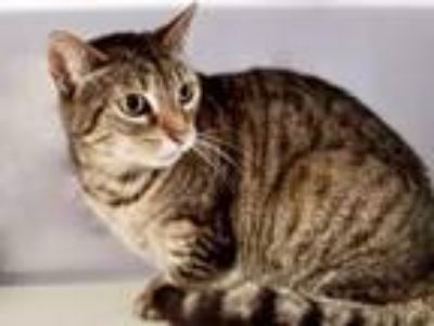 Adopt SQUEAKY a Domestic Short Hair