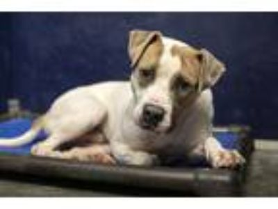 Adopt Jake a White - with Brown or Chocolate Pit Bull Terrier / Mixed dog in