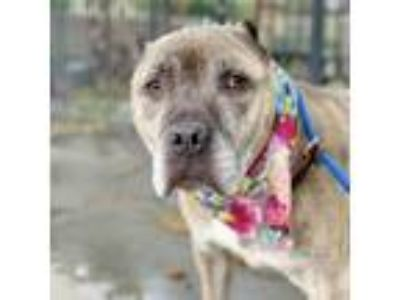 Adopt Cannoli a Brindle - with White Pit Bull Terrier / Mixed dog in Oakland