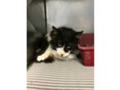 Adopt 5/16/19 Semi Feral DLH a Domestic Long Hair