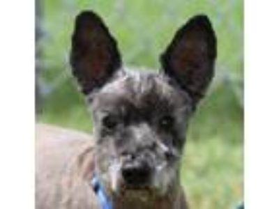 Adopt Boy Bear a Standard Schnauzer / Mixed dog in Spring, TX (13384107)