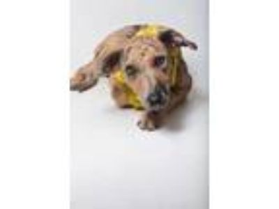 Adopt 19-454D Sadie a Brown/Chocolate Catahoula Leopard Dog / Mixed dog in