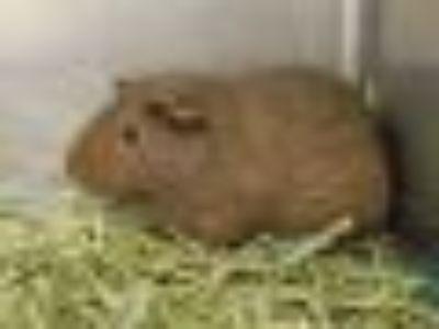 MAUREEN Guinea Pig Small & Furry