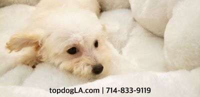 Maltipoo Puppy - Female - Bridgette ($850)