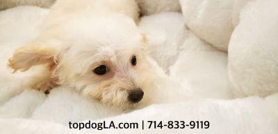 Maltipoo Puppy - Female - Bridgette ($850)