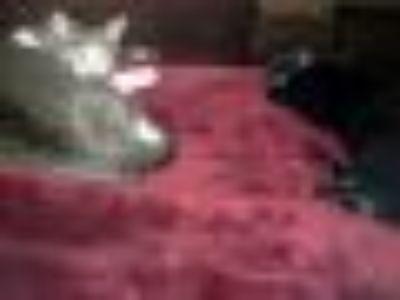 Coco & Volvo Domestic Short Hair Cat