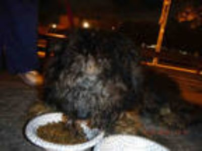 Adopt ONYX a Black - with Tan, Yellow or Fawn Poodle (Standard) / Labrador