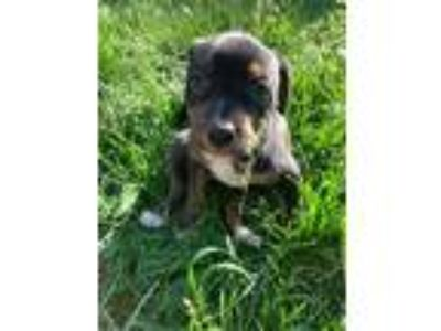 Adopt Ingrid a Black - with Tan, Yellow or Fawn Rottweiler / Mixed dog in Fort