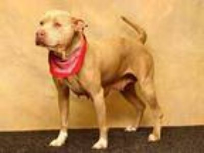 Adopt DELTA a Tan/Yellow/Fawn - with White American Pit Bull Terrier / Mixed dog