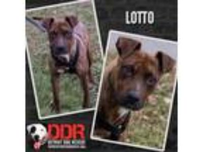 Adopt Lotto a Pit Bull Terrier