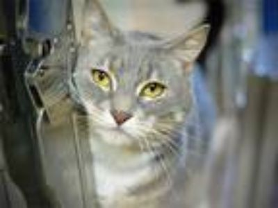 Adopt Greygory a Domestic Shorthair / Mixed cat in Portland, OR (25406830)