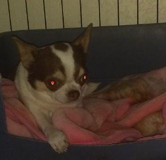Tiny Apple Head Female Chihuahua Puppy