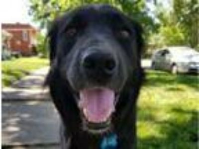 Adopt Brodie a Flat-Coated Retriever, Border Collie
