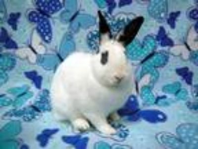 Adopt Toby (aka Lemon) a Other/Unknown / Mixed (short coat) rabbit in Scotts