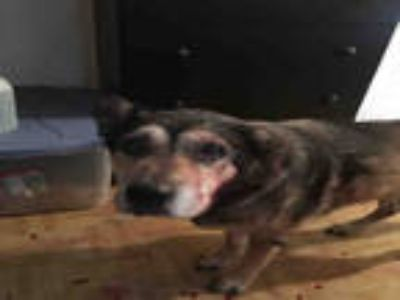 Adopt NACHO a Brown/Chocolate - with Black German Shepherd Dog / Mixed dog in