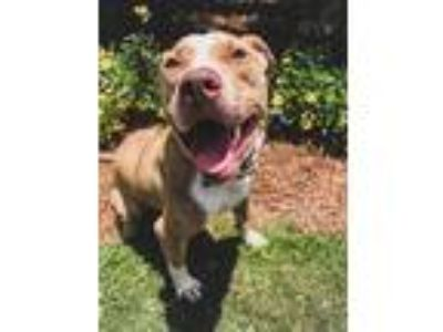 Adopt Tiger a Tan/Yellow/Fawn American Pit Bull Terrier / Mixed dog in Belle