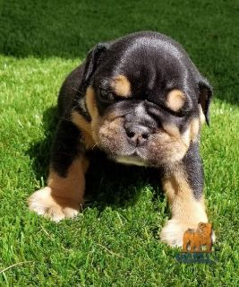 AKC English Bulldog Black tri Boy