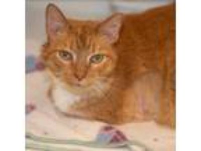Adopt Hitch a Orange or Red (Mostly) Domestic Shorthair / Mixed (short coat) cat