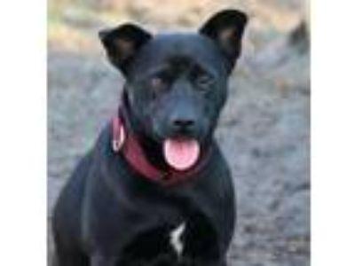 Adopt Martin a Black Shepherd (Unknown Type) / Mixed dog in Loxahatchee
