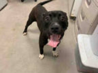 Adopt *MARCO a Black - with White American Pit Bull Terrier / Mixed dog in
