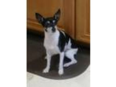 Adopt Patches a White - with Black Rat Terrier / Mixed dog in Palm Beach