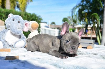 French Bulldog PUPPY FOR SALE ADN-107332 - Blue Brindle Male Oliver