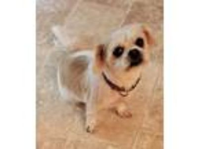 Adopt Dolly West a White - with Tan, Yellow or Fawn Shih Tzu / Mixed dog in