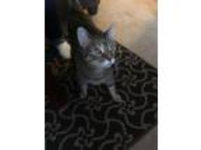 Adopt Paris a Gray, Blue or Silver Tabby Domestic Shorthair / Mixed cat in
